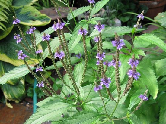 Лекарственные растения: вербена, буквица, медуница