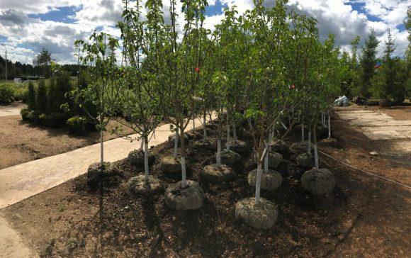 Как правильно высаживать крупные саженцы деревьев, кустарников и хвойных?