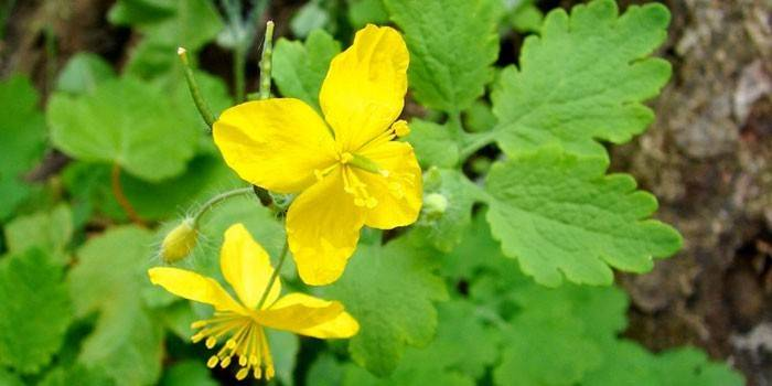 Лечебные травы при эндометриозе